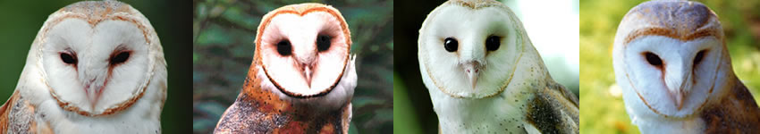 Barn Owls in the U.S. Banner