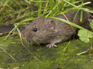 Vield vole (Microtus agrestis)