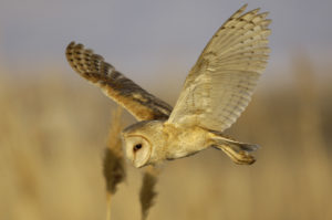 Barn owls are common in Colorado