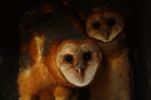 Barn owls ready to fledge