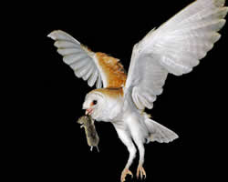 barn_owl-flying-rodent