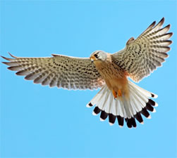 Kestrel Hovering Wings Spread