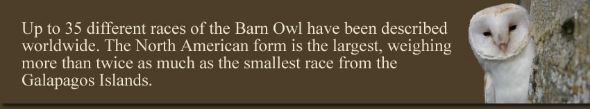 The Races of the Barn Owl