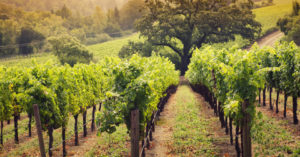 BARN_OWL_VINEYARD_842_940X340