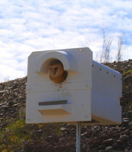 Adult barn owl emerging from nest box