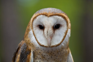 Barn owls exist along the coast and on islands off Rhode Island