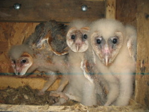 Oregon has good populations of barn owls